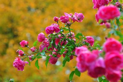 Botany, Dog-Rose