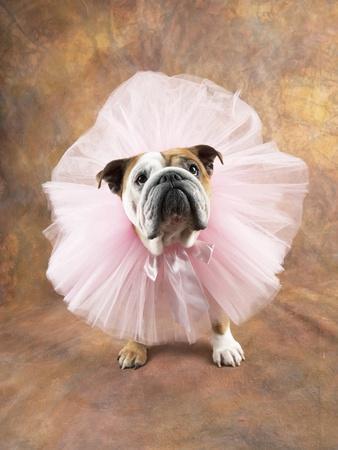 Bulldog Wearing Tutu