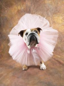 Bulldog Wearing Tutu by Peter M. Fisher