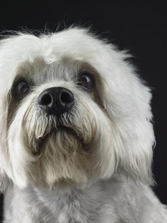 Dandie Dinmonts Terrier