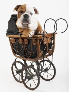 English Bulldog Puppy in a Baby Carriage by Peter M. Fisher