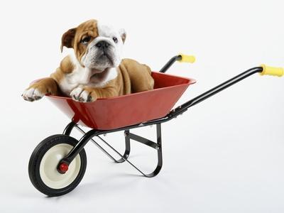 English Bulldog Puppy in a Wheelbarrow