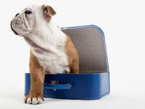 English Bulldog Puppy Sitting in a Lunch Box by Peter M. Fisher
