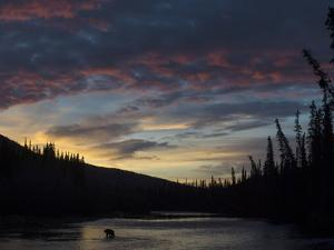 A Grizzly Bear, Ursus Arctos, Hunting Salmon in a River at Twilight by Peter Mather