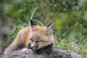 Close Up Portrait of a Red Fox Kit, Napping by Peter Mather
