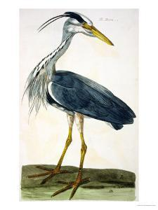 """The Heron Plate from """"The British Zoology Class II: Birds"""" by Peter Paillou"""