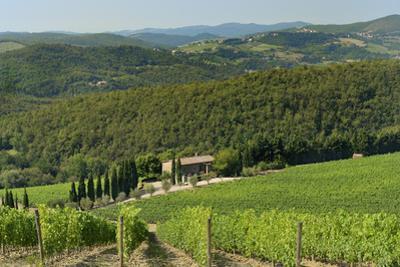 Vineyard and Olive Grove, Pian D'Albola, Radda in Chianti, Siena Province, Tuscany, Italy, Europe