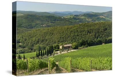 Vineyard and Olive Grove, Pian D'Albola, Radda in Chianti, Siena Province, Tuscany, Italy, Europe