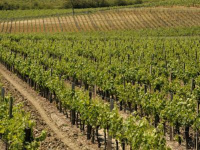 Vineyard in the Bordeaux Region, Gironde, Aquitaine, France