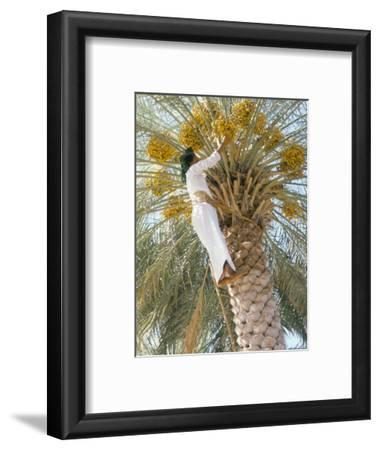 Date Picker, Nizwa, Oman, Gulf States, Middle East