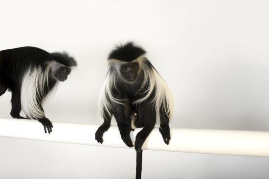 Peter's Angola Colobus Monkeys, Colobus Angolensis Palliatus, at the Omaha Henry Doorly Zoo-Joel Sartore-Photographic Print