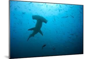 Hammerhead Shark by Peter Scoones