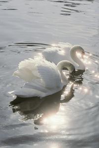 Mute Swans by Peter Scoones