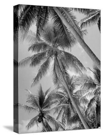 Palm Trees on Ellice Islands, Tuvalu