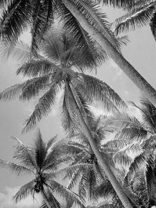 Palm Trees on Ellice Islands, Tuvalu by Peter Stackpole