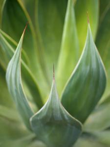 Aloe Vera Plant. by Peter Starman