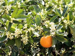 Blossom and Fruit on an Orange Tree, Majorca, Spain by Peter Thompson