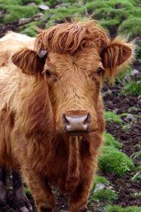 Cattle, Skye, Highland, Scotland by Peter Thompson