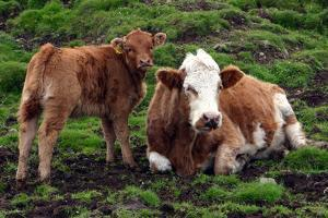 Cattle, Skye, Scotland by Peter Thompson