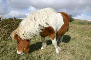 Dartmoor Pony, Dartmoor, Devon by Peter Thompson