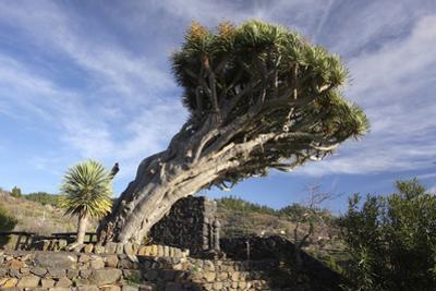 Dragon Tree, La Palma, Canary Islands, Spain, 2009 by Peter Thompson