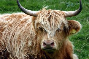 Highland Cattle, Scotland by Peter Thompson