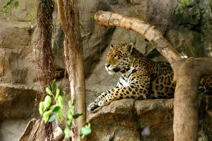 Jaguar, Loro Parque, Tenerife, Canary Islands, 2007 by Peter Thompson