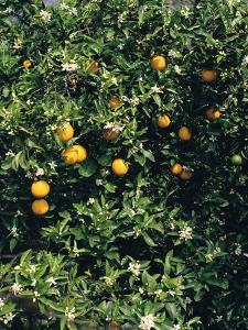 Orange blossom and fruit, Majorca by Peter Thompson