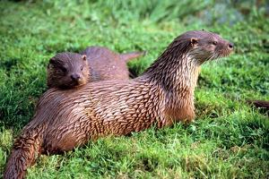 Otters by Peter Thompson