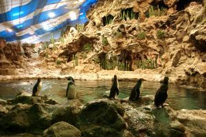 Penguins, Loro Parque, Tenerife, Canary Islands, 2007 by Peter Thompson