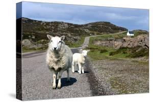 Sheep and Lamb, Applecross Peninsula, Highland, Scotland by Peter Thompson
