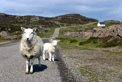 Sheep and Lamb, Applecross Peninsula, Highland, Scotland