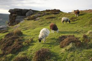 Sheep Grazing, Curbar Edge, Derbyshire, 2009 by Peter Thompson