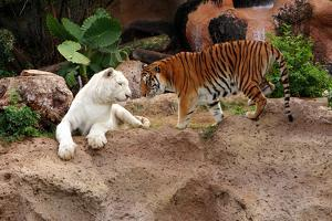 Tigers, Loro Parque, Tenerife, Canary Islands, 2007 by Peter Thompson