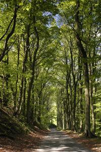Tree-Lined Road, Castleton, Derbyshire by Peter Thompson