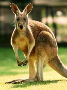 Australian Kangaroo by Peter Walton