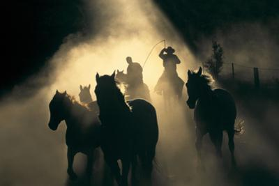 Australian Stock Horses Being Mustered at Stockyard Creek, Victoria, Australia by Peter Walton Photography