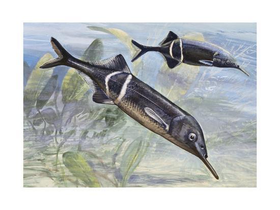 Peters' Elephantnose Fish (Gnathonemus Petersii), Mormyridae--Giclee Print