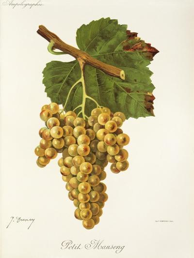 Petit Manseng Grape-J. Troncy-Giclee Print