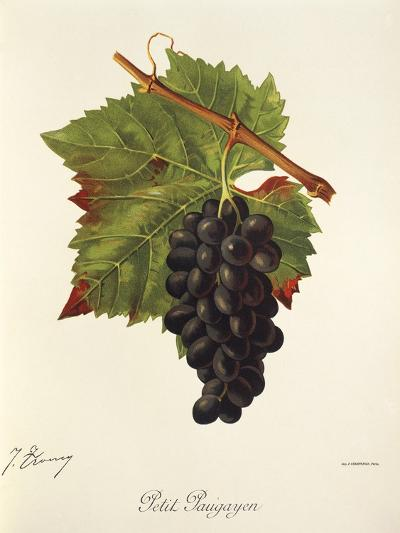 Petit Paugayen Grape-J. Troncy-Giclee Print