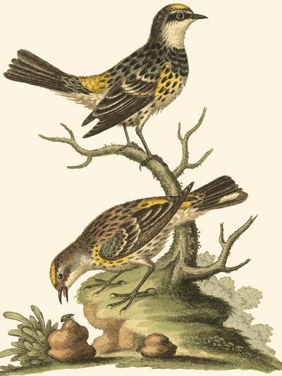 Petite Bird Study III-George Edwards-Art Print