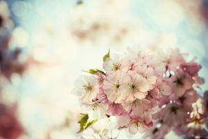 Vintage Photo of White Cherry Tree Flowers in Spring by Petr Jilek