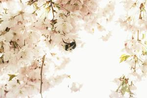 A Bumblebee Sits in Her Paradise: Ornamental Cherry Tree Blossoms in Full Splendour by Petra Daisenberger
