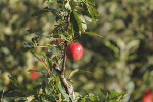 A Single, Red, Ripe Apple Hangs on a Branch on an Apple Tree by Petra Daisenberger