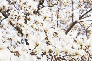 A White Magnolia Tree Magnoliaceae in Full Flowerage by Petra Daisenberger