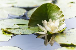 A White Water Lily Blossom by Petra Daisenberger