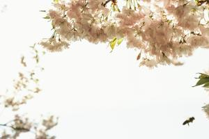 Abundance of Ornamental Cherry Tree Blossoms Forms a Nice Border, Backlit Shot by Petra Daisenberger