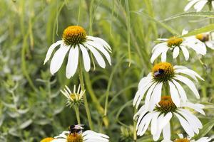 Echinacea - a Medicinal Plant with Health Potential by Petra Daisenberger
