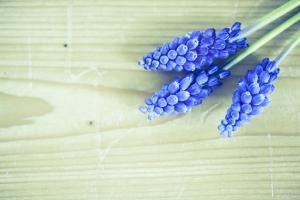Grape Hyacinths, Muscari on a Wooden Ground by Petra Daisenberger