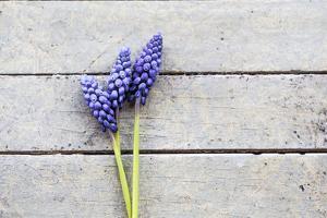 Grape Hyacinths Muscari on a Wooden Ground by Petra Daisenberger